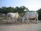 Ierodoties jebkurā Indijas lielpilsētā pirmie iespaidi ir šokējoši. Taču govi uzskata par svētumu, jo govs pirmām kārtām ir māte, kura spēj dot pienu. 6
