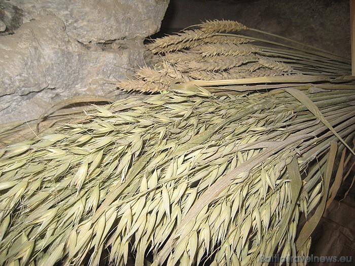 Dzirnavās ir iespējams apskatīt dažādas graudaugu šķirnes ...