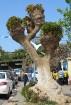 Koku pilsētā nav daudz, taču pasakainu un fantāziju pilnu noskaņojumu tie gan rada 47