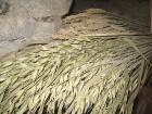 Dzirnavās ir iespējams apskatīt dažādas graudaugu šķirnes ... 5