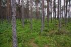 Zemi klāj milzīgs kūdras sūklis, kas apaudzis ar priedītēm, mellenēm un brūklenēm 7