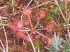 Purva augs - gaļēdājs 14